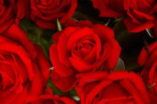 2008 red roses not enhanced (Medium)