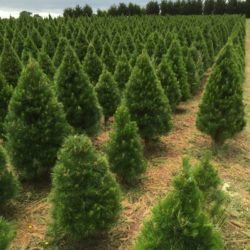 Christmas Trees by Stems