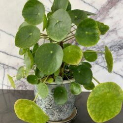 Our Stems stylists Pilea 2 years old