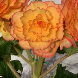 Begonias available at Stems